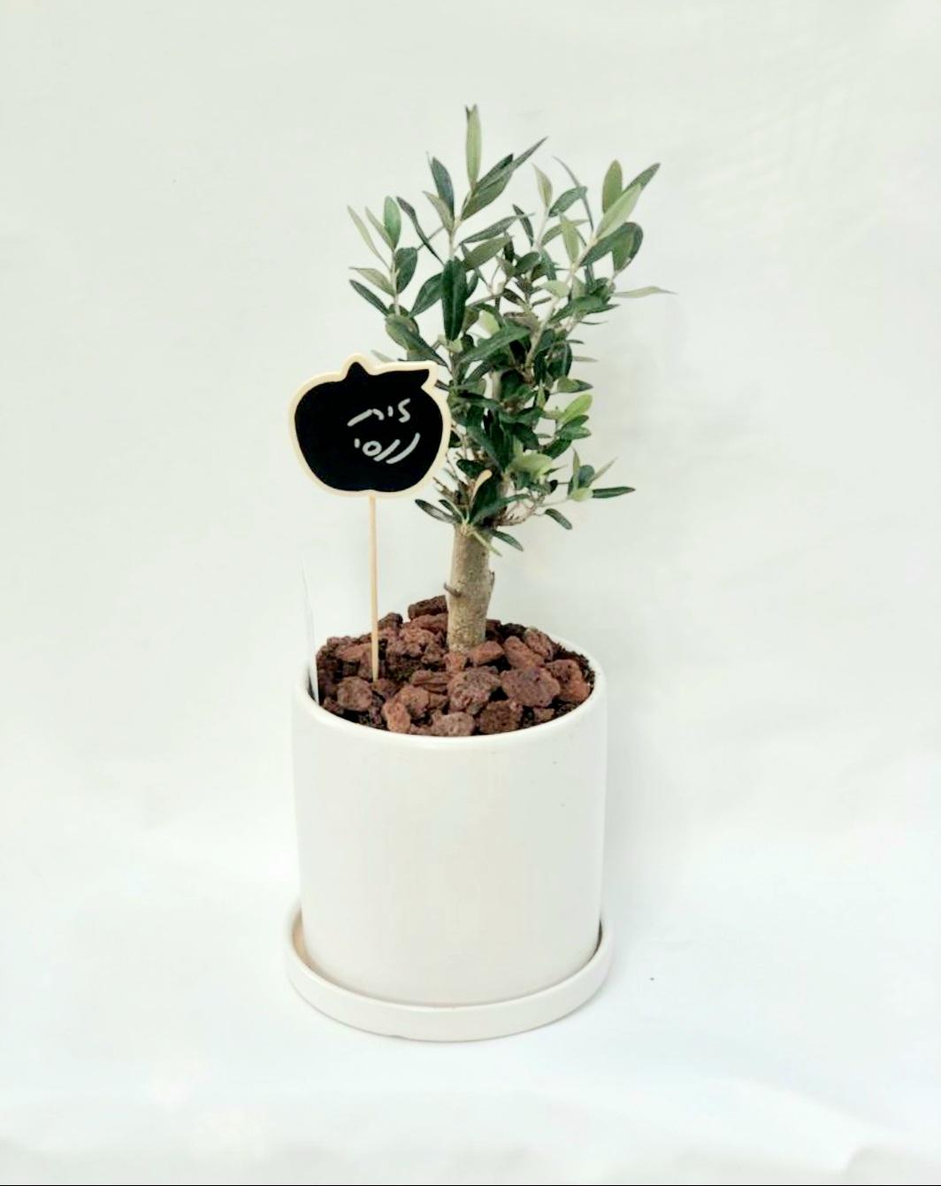 עץ זית ננסי בכלי מקרמירה